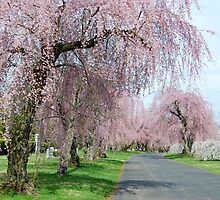 Weeping Cherries by linda lowry