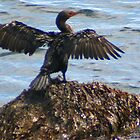 Anhinga Drying Its Wings by Laurel Talabere