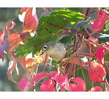 Ruby-Crowned Kinglet. Photographic Print