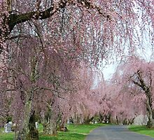Weeping Cherry Alee by linda lowry