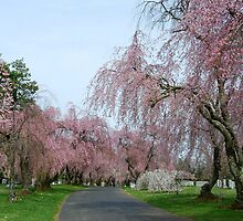 Weeping Cherries- Lexington Cemetery by linda lowry