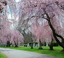 Weeping Cherries in Bloom by linda lowry