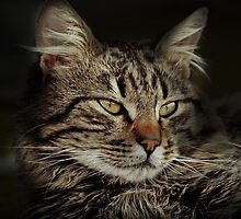 The Look of the Cat by Milos Markovic