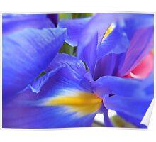 Large irises Poster