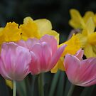 Yellows and Pinks  by Rachel Counts
