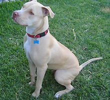 American Pit Bull Terrier by anibubble