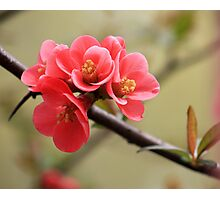 Japanese Peach Photographic Print