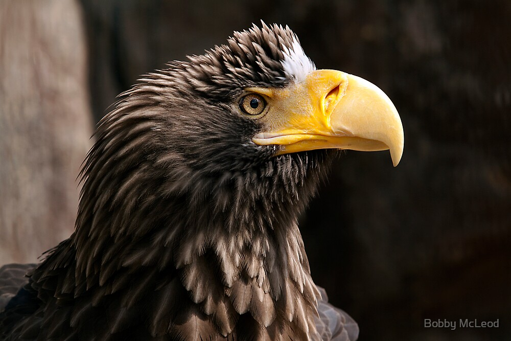 Steller's Sea Eagle by Bobby McLeod
