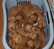 Basket of Golden Nuggets '09 by goldnzrule