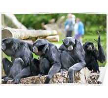 Siamang Gibbon family relaxing in fota wildlife park Poster