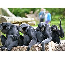 Siamang Gibbon family relaxing in fota wildlife park Photographic Print