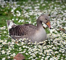 single duck among daisies by morrbyte