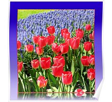 Dazzling Red Tulips and Brilliant Blue Muscari - Keukenhof Gardens Poster