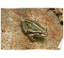Western Green Tree Frog Poster