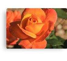 Peach Colored Rose Canvas Print