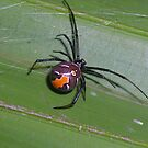 Red Back Spider by lilleesa78