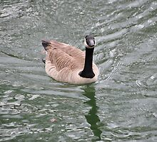 Goose On Waller Mill Lake by meinvb