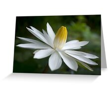 Night Bloomer ~ White Water Lily with Splayed Petals   Greeting Card