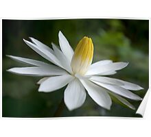 Night Bloomer ~ White Water Lily with Splayed Petals   Poster