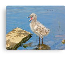 Chick Looking for Mum (Baby Seagull) Canvas Print