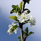 Apple Blossom by Pamela Jayne Smith