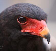 Bateler Eagle by JonathanHunt
