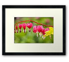 Bleeding Hearts Framed Print