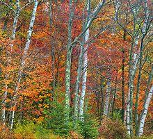 Adirondack Autumn Birch Trees by TonyBeaverPhoto