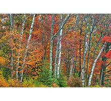 Adirondack Autumn Birch Trees Photographic Print