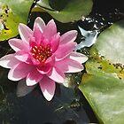 Pink water lily by Thad Zajdowicz