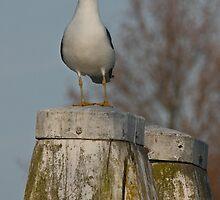 Lesser Black-Backed Gull by Robert Abraham