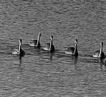 Seven Swans a'Swimming - Lake Monger, Perth W.A. by Sandra Chung