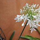 My White Agapanthus by Maree  Clarkson