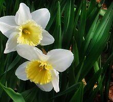 Daffodil Duet by Nadya Johnson