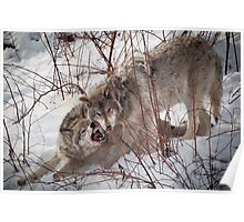 Timber Wolves Fighting Poster