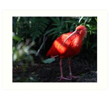 Scarlet Ibis Florida Everglades Bird Art Print