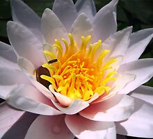 Lilly pad  flower by sendao