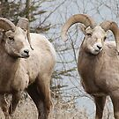 Couple of Rams by Tiffany Vest
