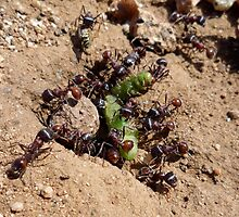 Red harvester ants by anibubble