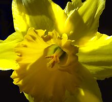 March Yellow by kimbarose