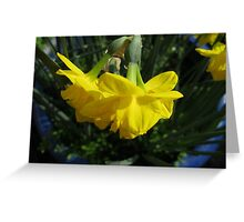Nodding Daffodils Greeting Card