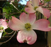 Story of the Dogwood . . . by Emilie Baltimore