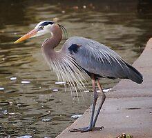the heron fisher by dbcarolinagirl