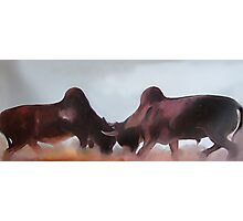 A Bull Fight Photographic Print