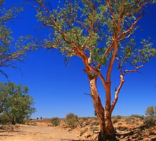 Colourful gum at dry creek bed by David  Hibberd