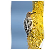 Pollen Covered Woodpecker  Poster