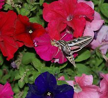 Hummingbird Moth by TxGimGim