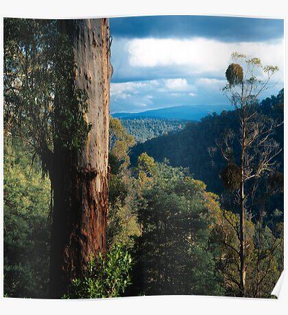 Mountan Ash (Eucalyptus regnans) Poster