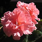Apricot Ruffled Begonia by Pat Yager