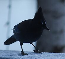 Stellers Jay by ChelseaHorn